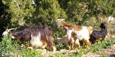 Chèvres dans les arganiers