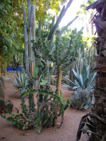 cactus - jardin Majorelle - Marrakech